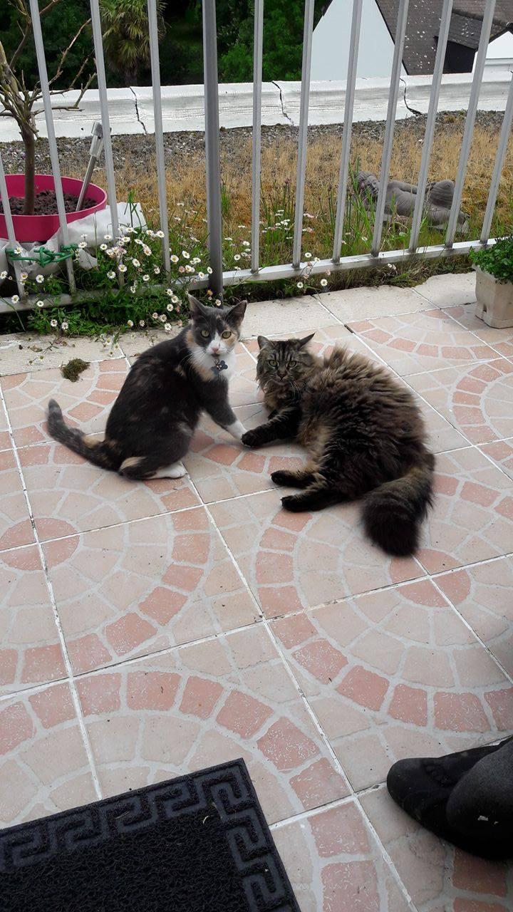 lisbeth - LISBETH, chatte européenne tricolore, née en 2015. 18789910