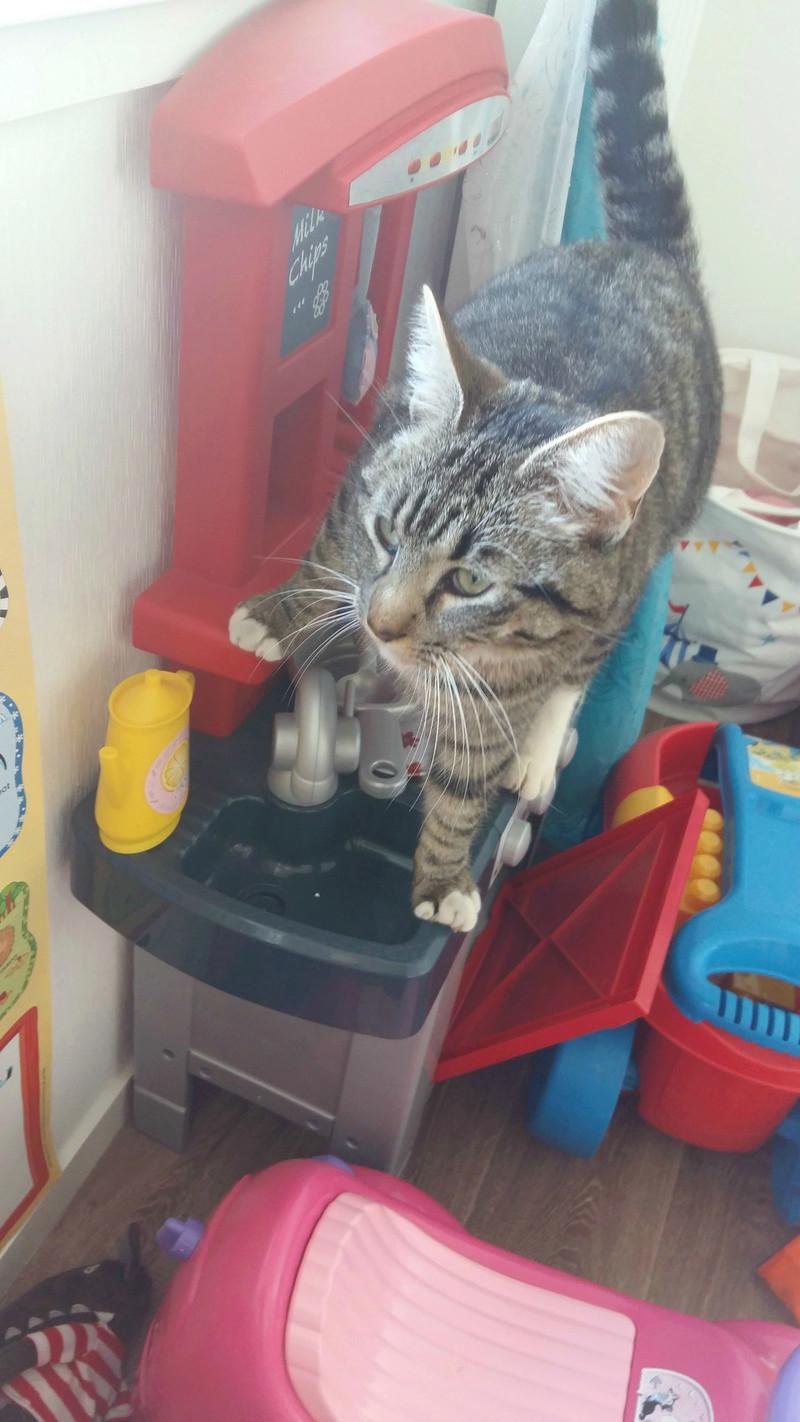 mateos - Matéos, chaton euro brown tabby et blanc, né le 27/03/2016 20170513