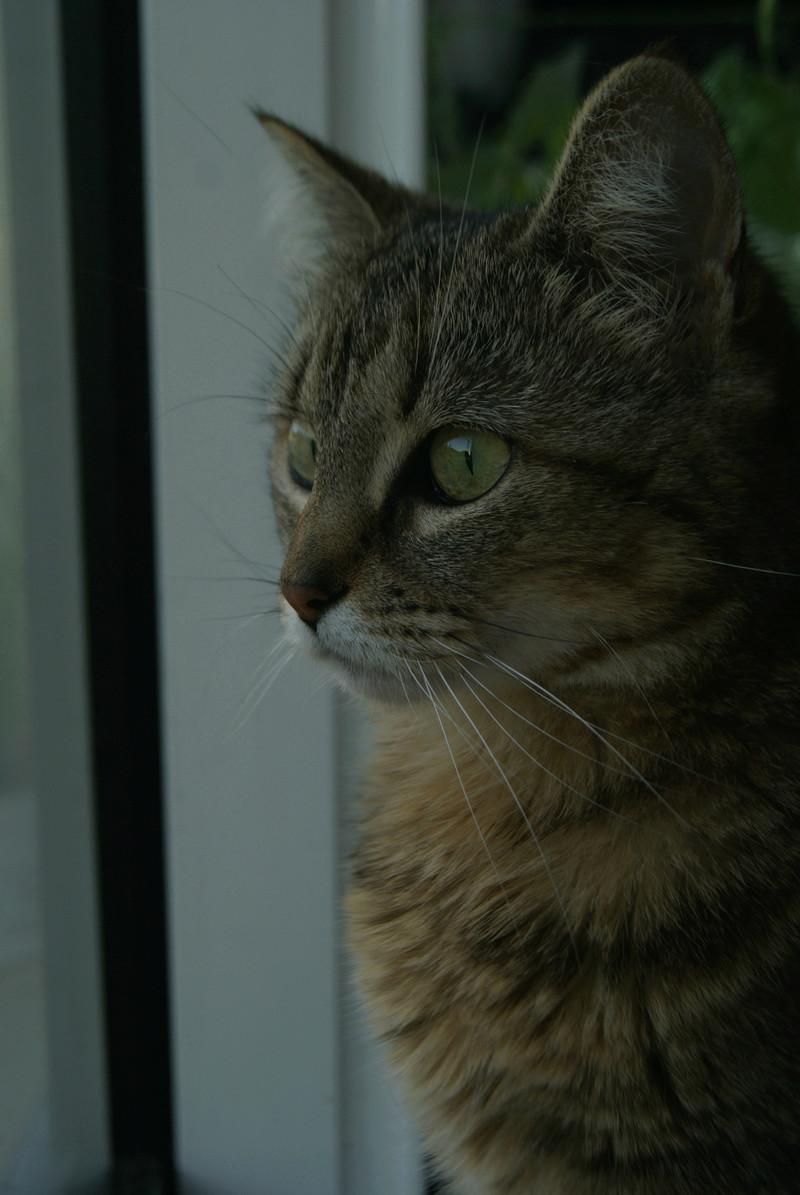 ISA, chatte européenne, marron tabby, née en 2013 Dsc06612