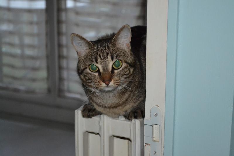 laïka - LAIKA, chatonne tigrée, née en novembre 2015 Dsc_0210