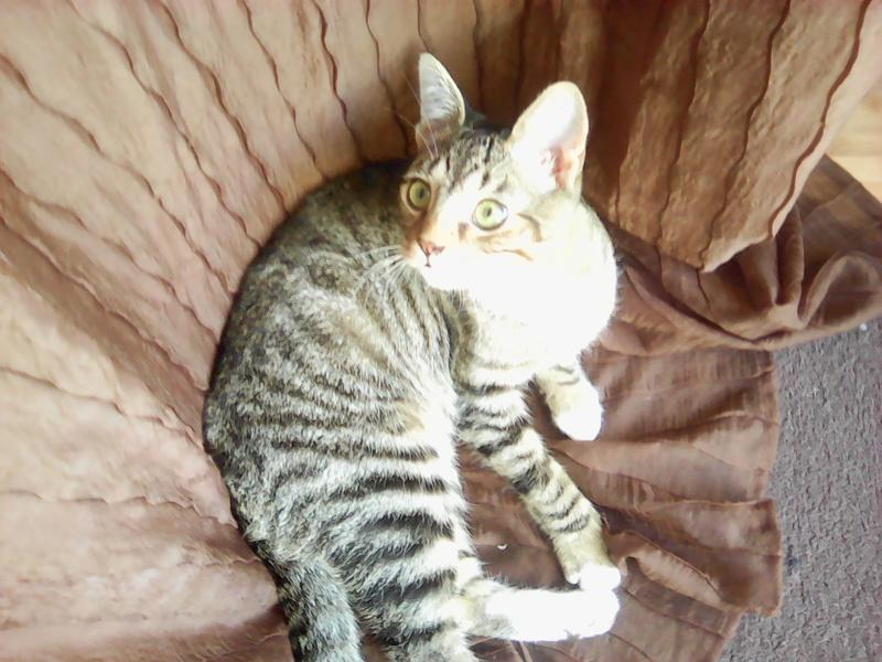 moupy - MOUPY, chaton mâle tigré et blanc, né le 01/09/16 Img00110