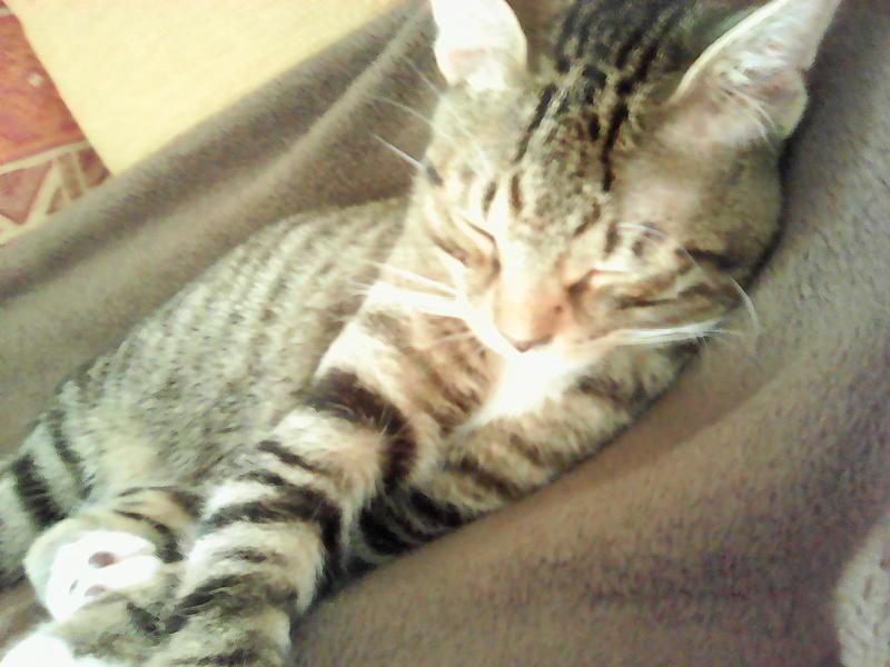 moupy - MOUPY, chaton mâle tigré et blanc, né le 01/09/16 Img00111