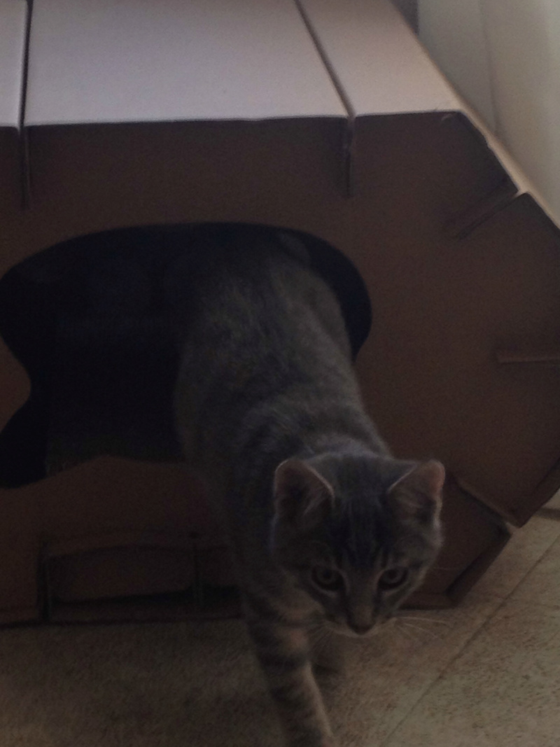 matisse - Matisse, chaton mâle gris tigré né le 1er sep 2016 Img_0412