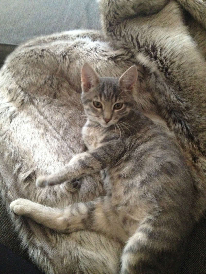 matisse - Matisse, chaton mâle gris tigré né le 1er sep 2016 Img_0413