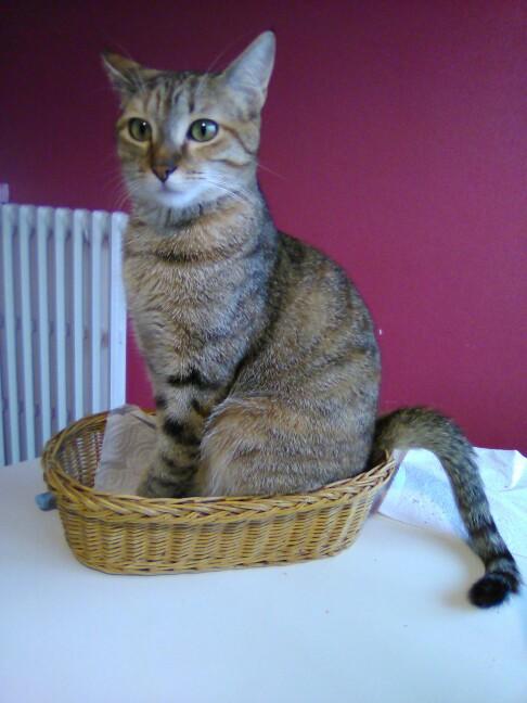 mangue - Mangue, chatonne tigrée tricolore, née le 20/05/2016 Img_2015