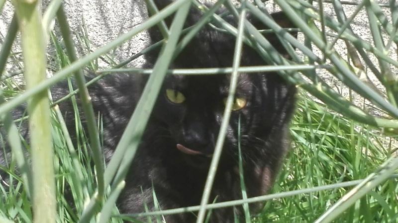 Marvin - MARVIN, chaton européen, robe noire, poils mi-longs, né en octobre 2016. Img_2021