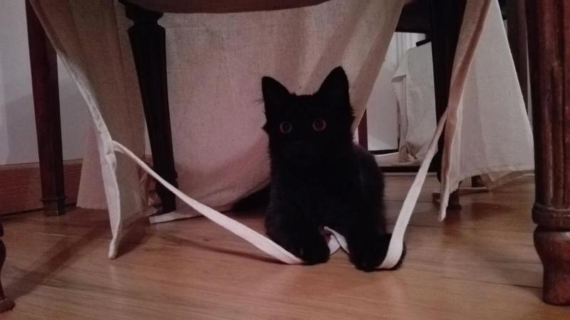 Marvin - MARVIN, chaton européen, robe noire, poils mi-longs, né en octobre 2016. Img_2024