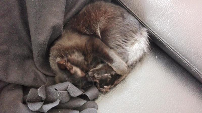 Marvin - MARVIN, chaton européen, robe noire, poils mi-longs, né en octobre 2016. Img_2027