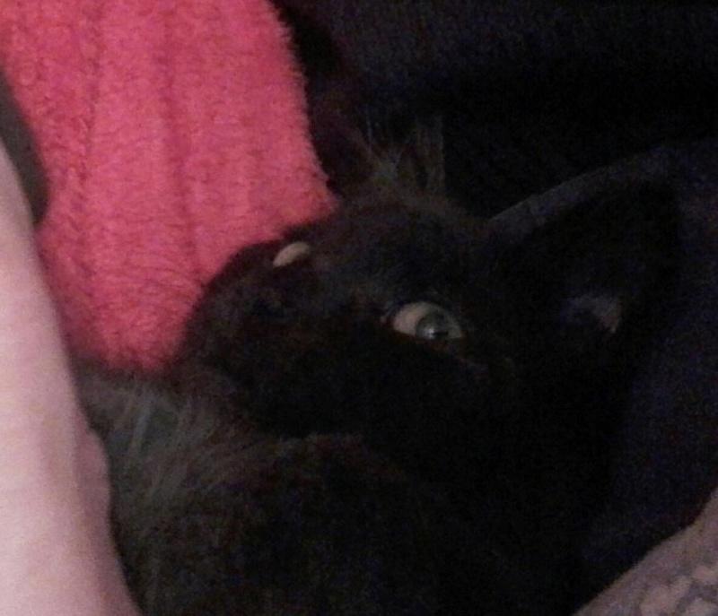 Marvin - MARVIN, chaton européen, robe noire, poils mi-longs, né en octobre 2016. Img_2028