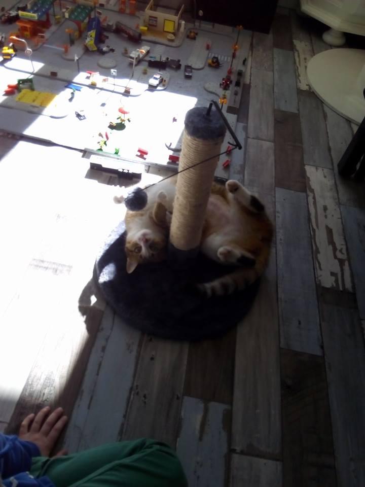 MALIKI, chatte européenne tigrée & blanche, née en mai 2016. Maliki10