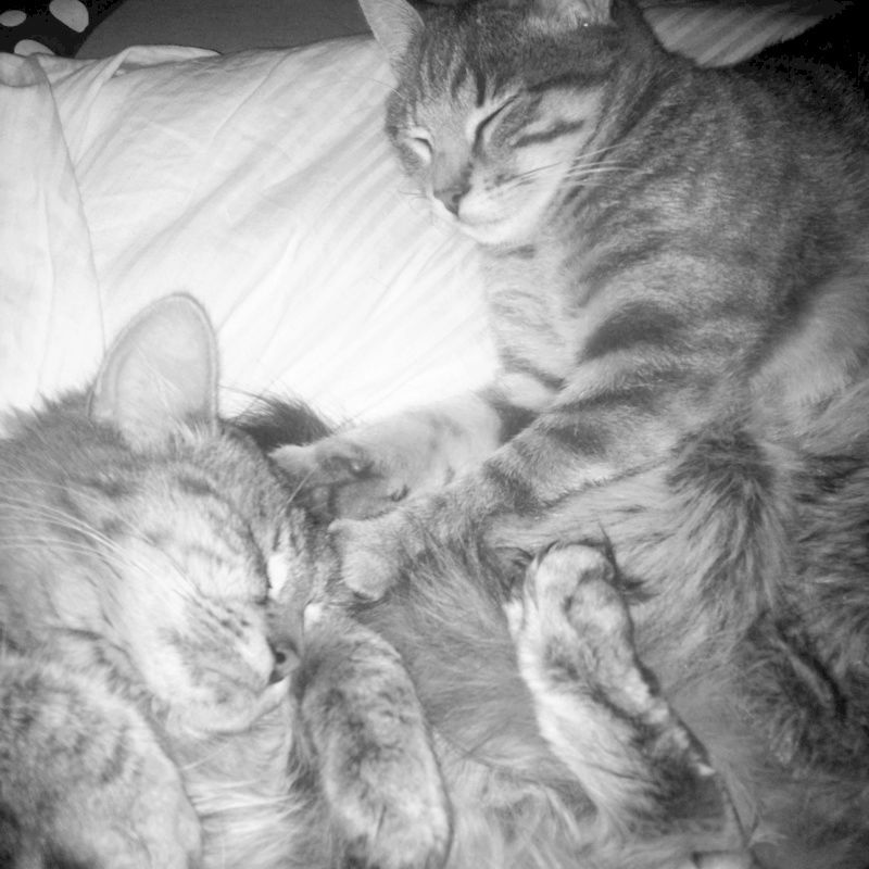 matisse - Matisse, chaton mâle gris tigré né le 1er sep 2016 Matiss12