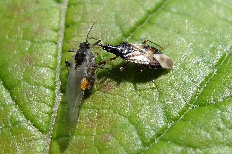 [Anthocoris nemorum] Une Anthocoridae ... prédatrice Anthoc10