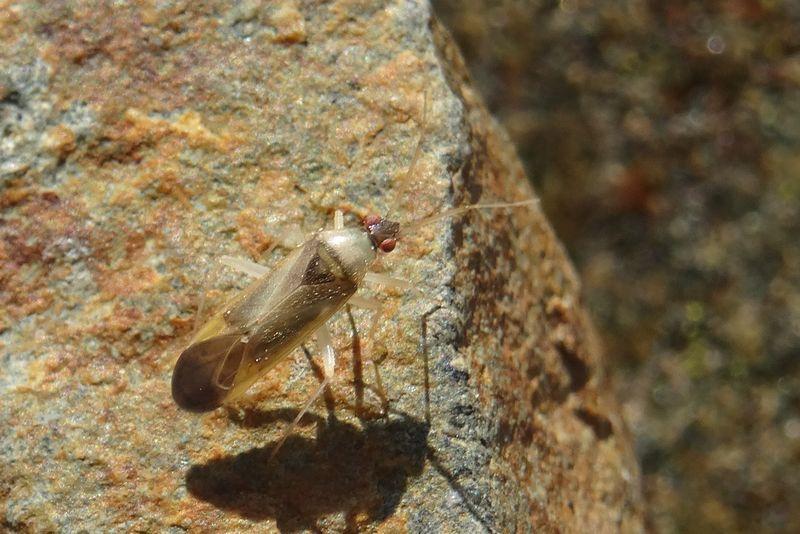 [Phylus melanocephalus] Phylus...? Phylus10