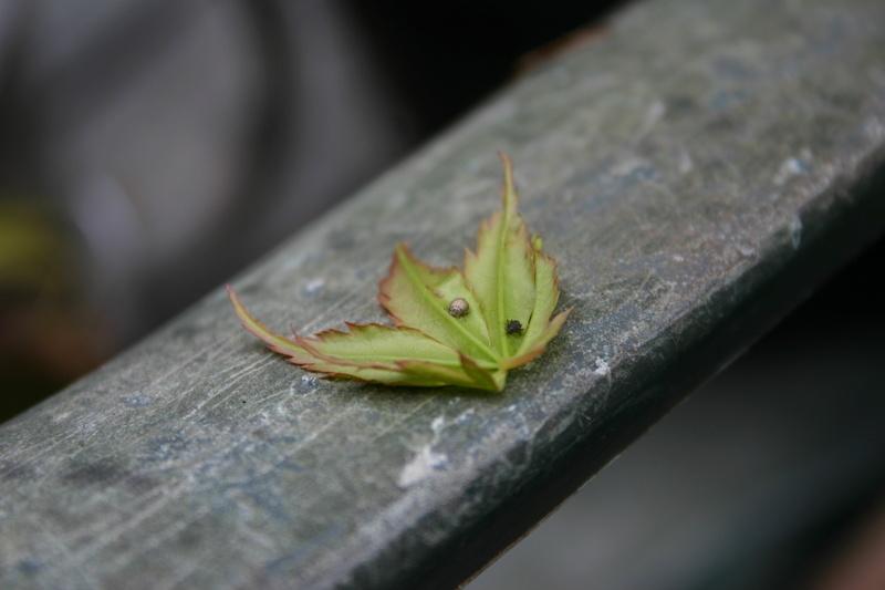 Acer Palmatum Katsura - wilting/dieback  Img_2811