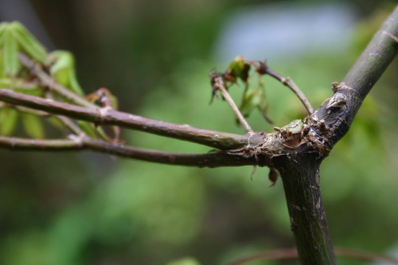 Acer Palmatum Katsura - wilting/dieback  Img_2814