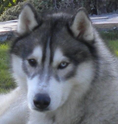 Is my Husky a Wolf Grey / Agouti? And what about his coat?  Image162