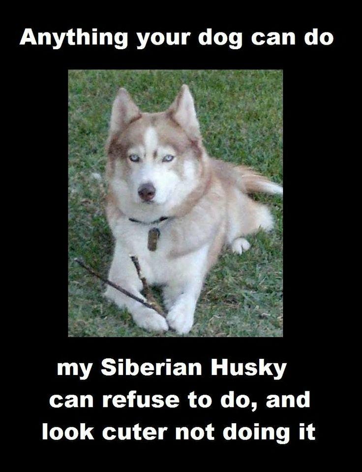 Funniest Husky pics Image29