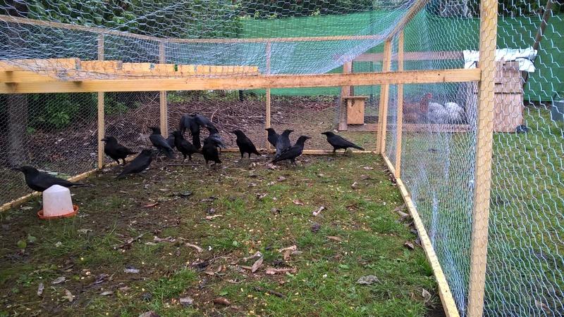 Déplacer une tribu de corbeau ou corneille Photo10