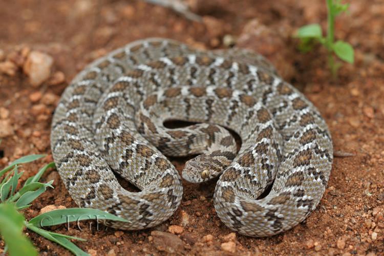 Vouloir un serpent venimeux ou pas  102110