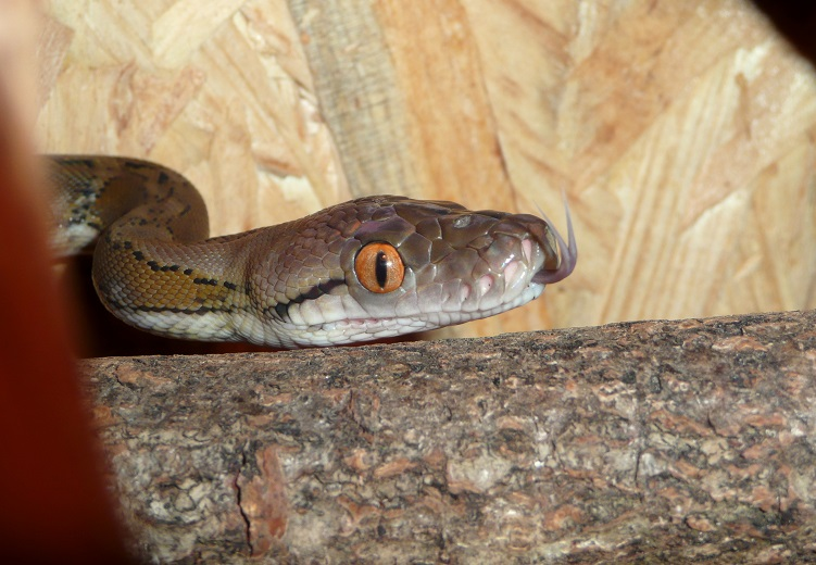 Abcès buccal chez un Python réticulé Abcys-12