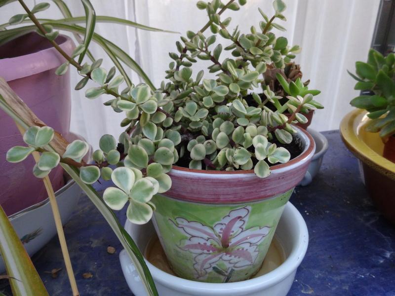 plantes de ma véranda Dsc03412