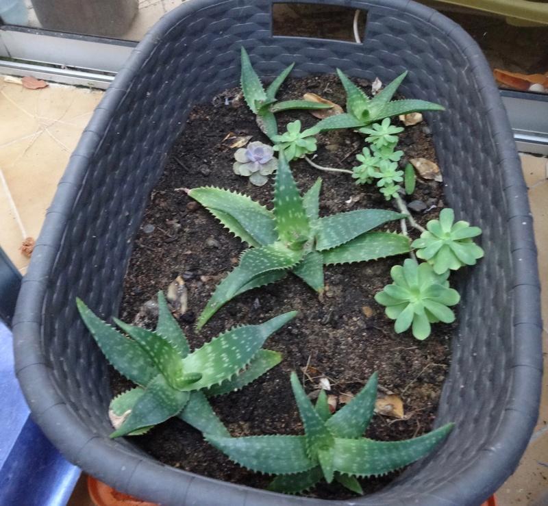 plantes de ma véranda Dsc03413