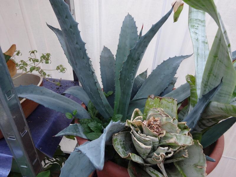 plantes de ma véranda Dsc03511