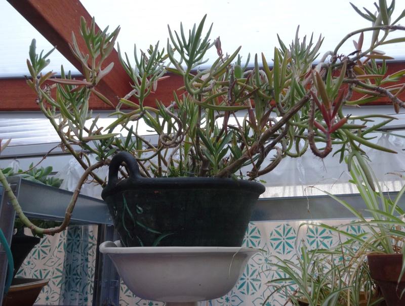 plantes de ma véranda - Page 2 Dsc03518