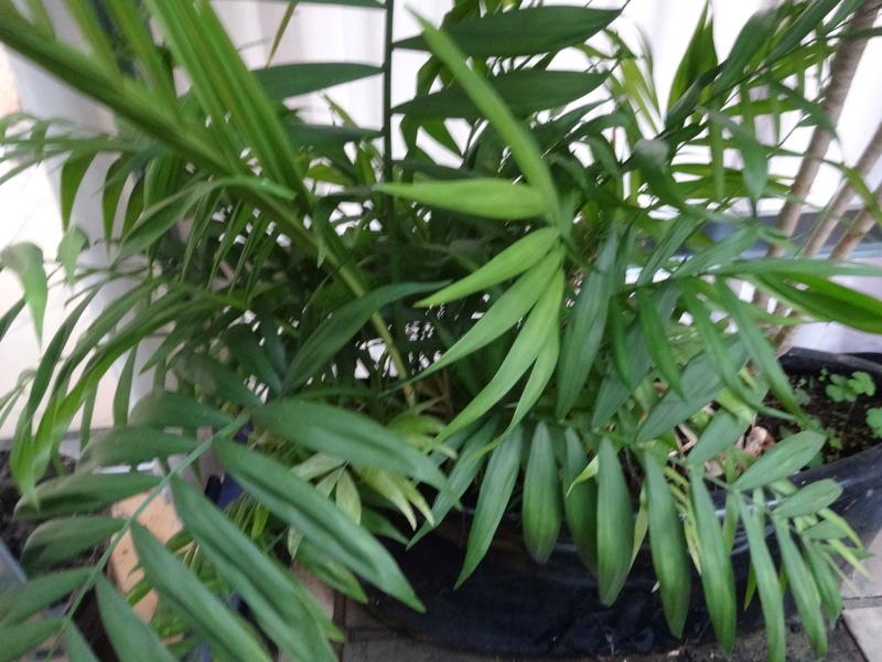 plantes de ma véranda - Page 2 Dsc03523