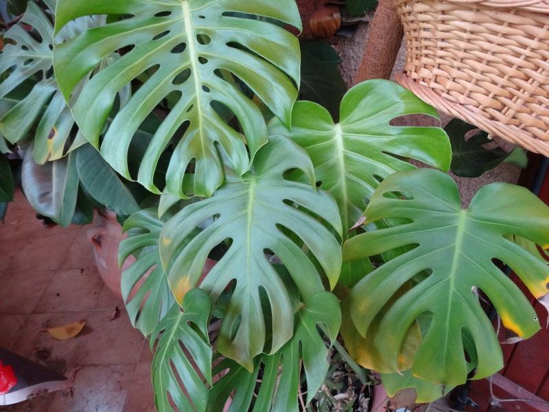 plantes de ma véranda - Page 2 Dsc03529