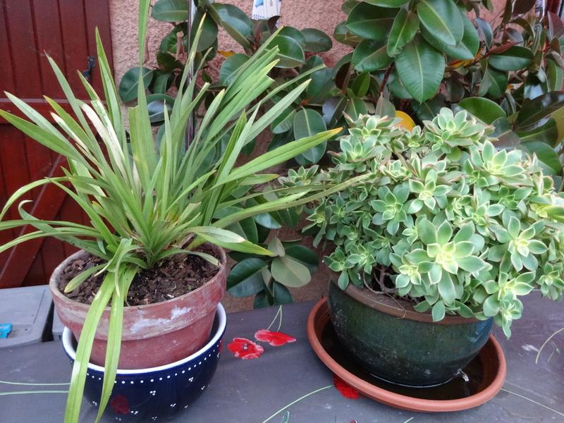plantes de ma véranda - Page 3 Dsc03536