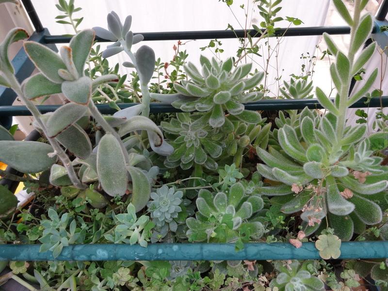 plantes de ma véranda Dsc04214