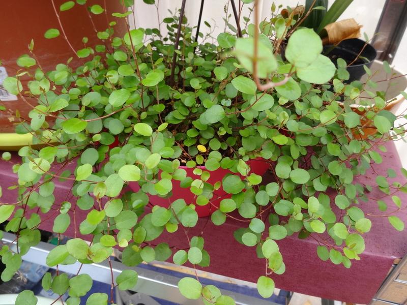 plantes de ma véranda Dsc04217