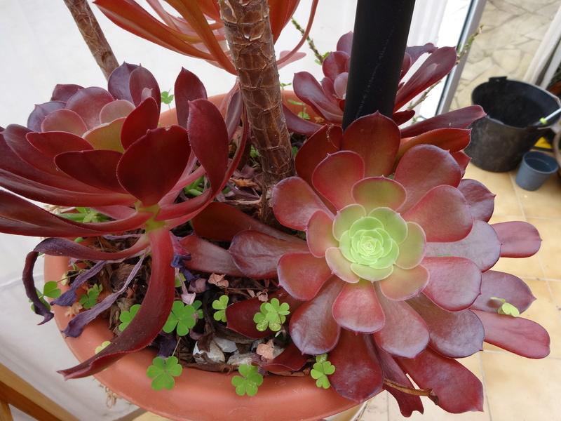 plantes de ma véranda Dsc04218