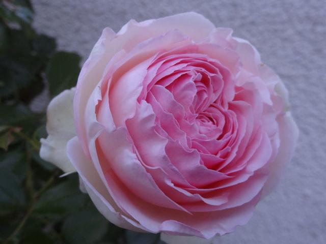 ces quelques fleurs de nos jardins - Page 2 Dsc08810