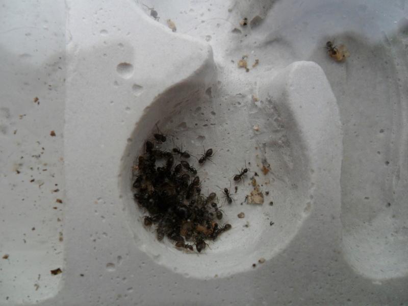 Une reine fourmi - Page 5 Sam_8612