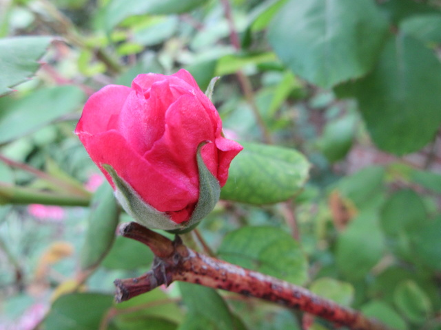 Welcome to my garden: hérissonne enceinte ? Img_2816