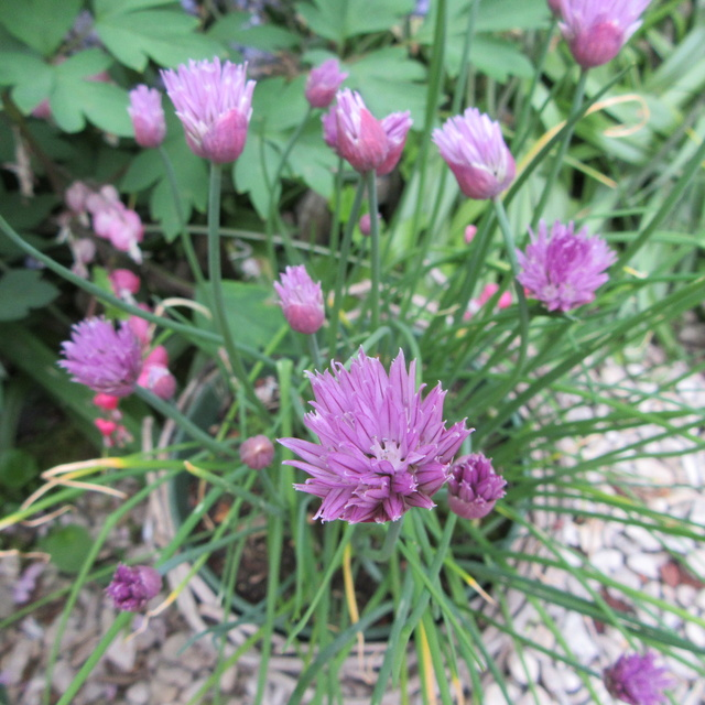 Welcome to my garden: hérissonne enceinte ? Img_2927