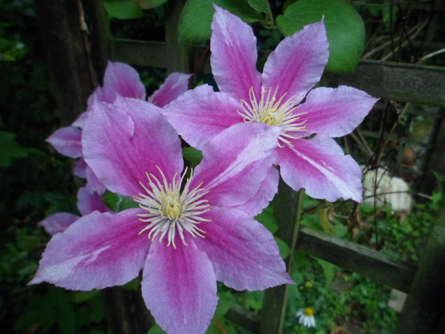 Welcome to my garden: hérissonne enceinte ? Sam_2310