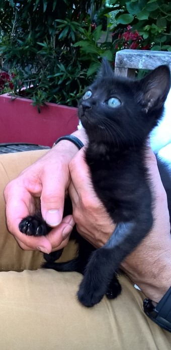 NERON, petit chaton mâle noir, né en Mars 2017 Wp_20110