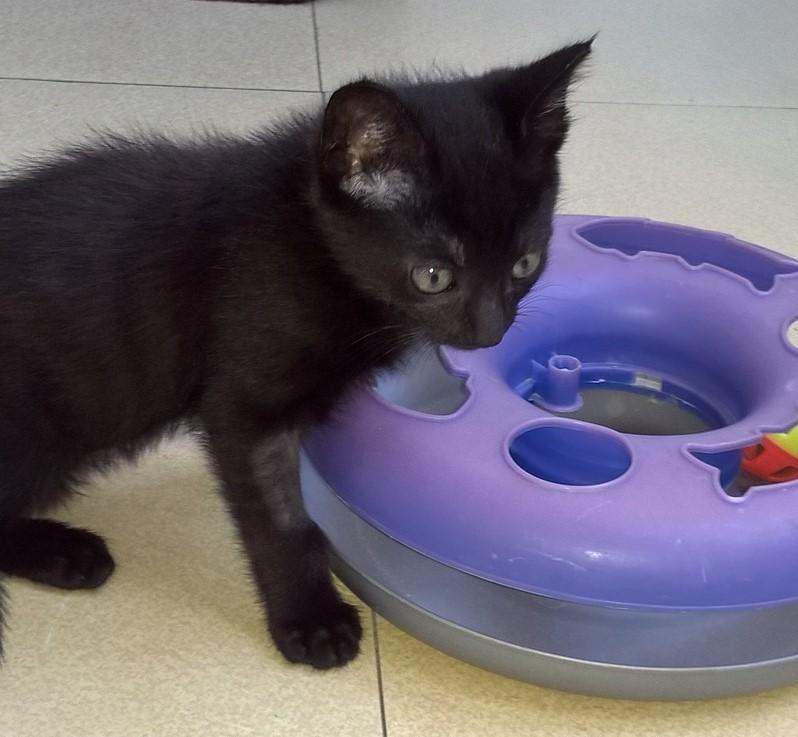 NERON, petit chaton mâle noir, né en Mars 2017 Wp_20111
