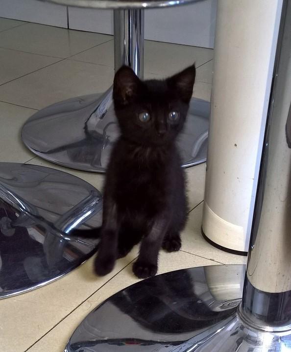 NERON, petit chaton mâle noir, né en Mars 2017 Wp_20112