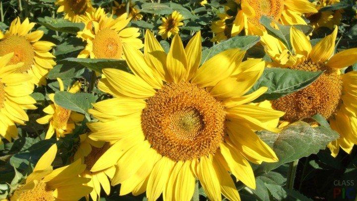 Suncokreti-sunflowers - Page 3 1xxxxx12