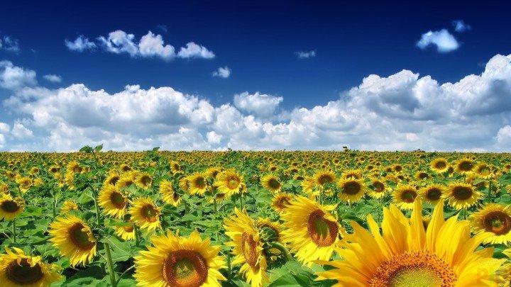 Suncokreti-sunflowers - Page 3 1xxxxx13