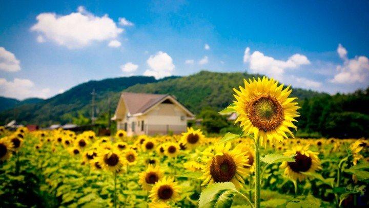 Suncokreti-sunflowers - Page 3 1xxxxx16