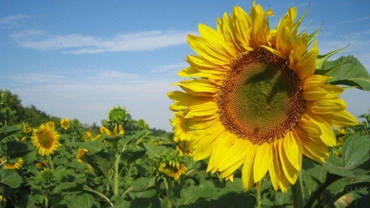 Suncokreti-sunflowers - Page 3 1xxxxx17