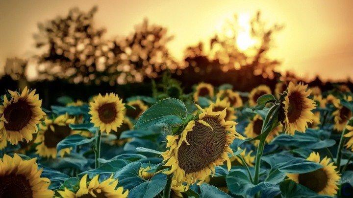 Suncokreti-sunflowers - Page 3 1xxxxx18