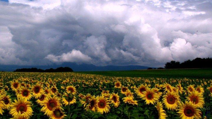 Suncokreti-sunflowers - Page 3 1xxxxx19