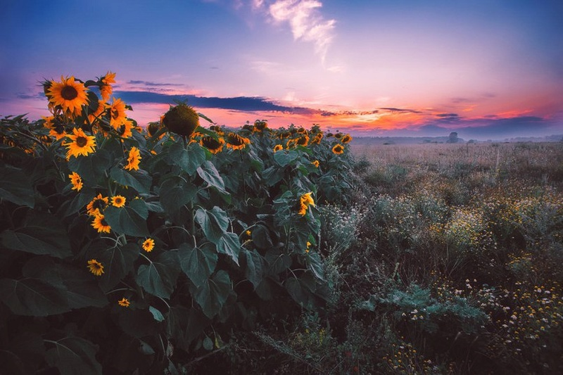 Suncokreti-sunflowers 26133710