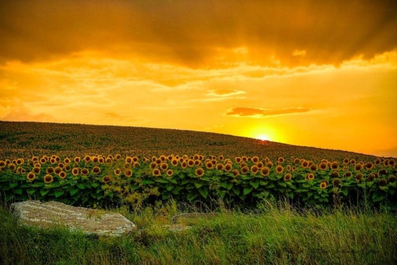 Suncokreti-sunflowers - Page 3 Say-ch10